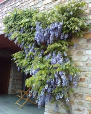 20110514192442-glicinia-de-mi-casa-en-el-rasillo.jpg