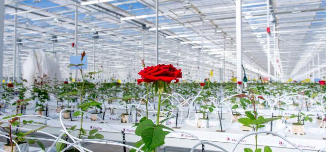 20170305083431-rosas-rojas-invernadero-soria-ruben-lapuente.jpg