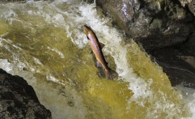 20121223131254-salmon-saltando-en-peligro-desaparecer-ruben-lapuente.jpg