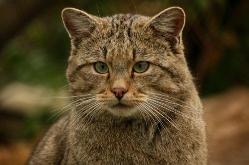 20140530141312-gato-salvaje-montes-ruben-lapuente.jpg